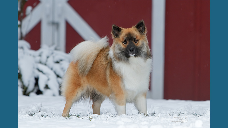 Icelandic Sheepdog 1