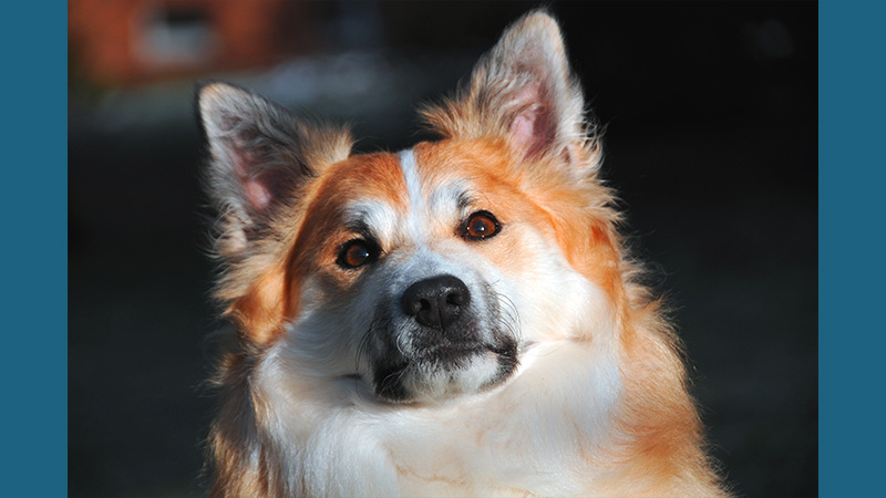 Icelandic Sheepdog 3