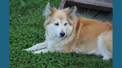 Icelandic Sheepdog 4