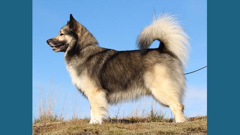 Icelandic Sheepdog 6