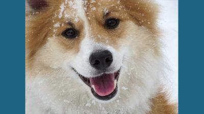 Icelandic Sheepdog 7