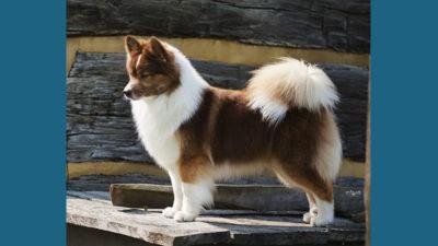 Icelandic Sheepdog 8