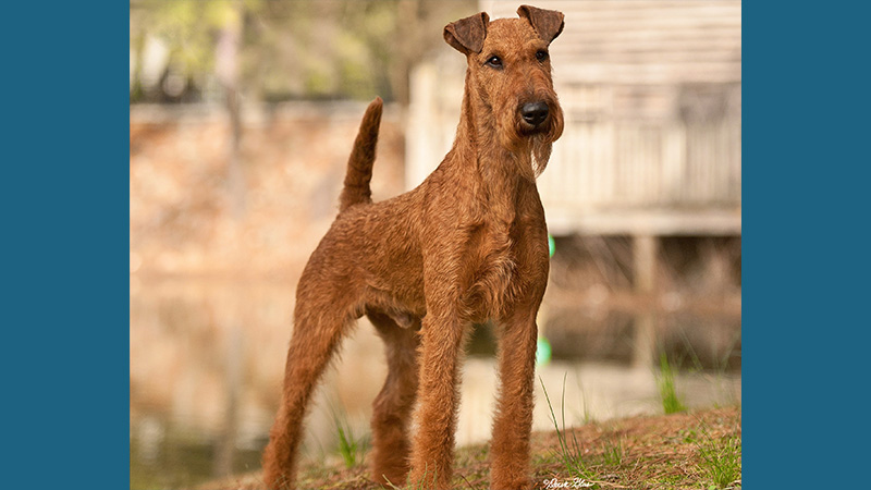 Irish Terrier 10