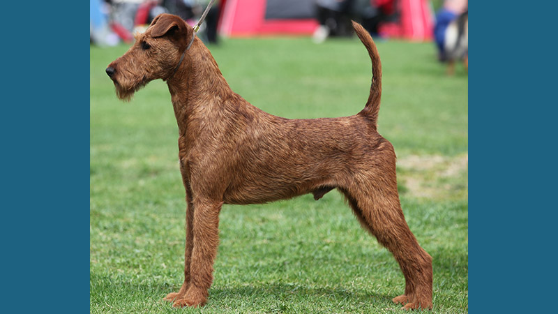 Irish Terrier 12