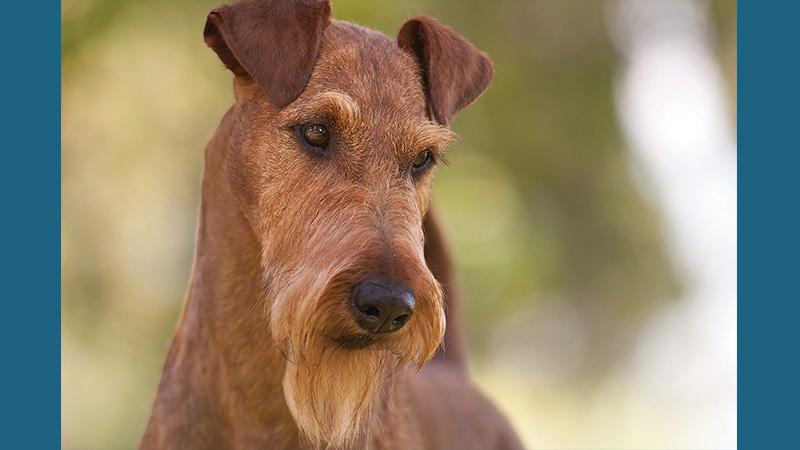 Irish Terrier 13