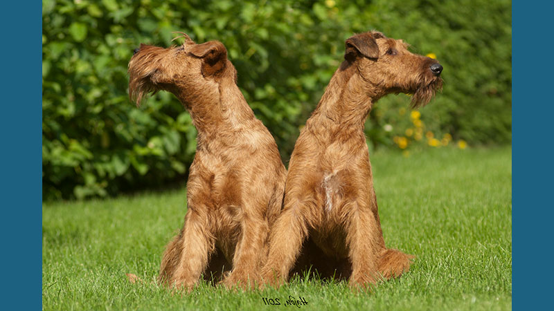 Irish Terrier 14