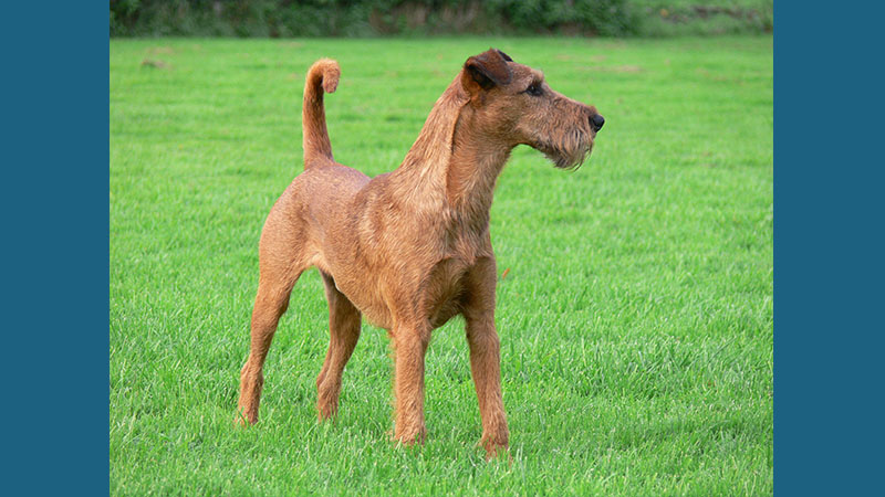 Irish Terrier 15