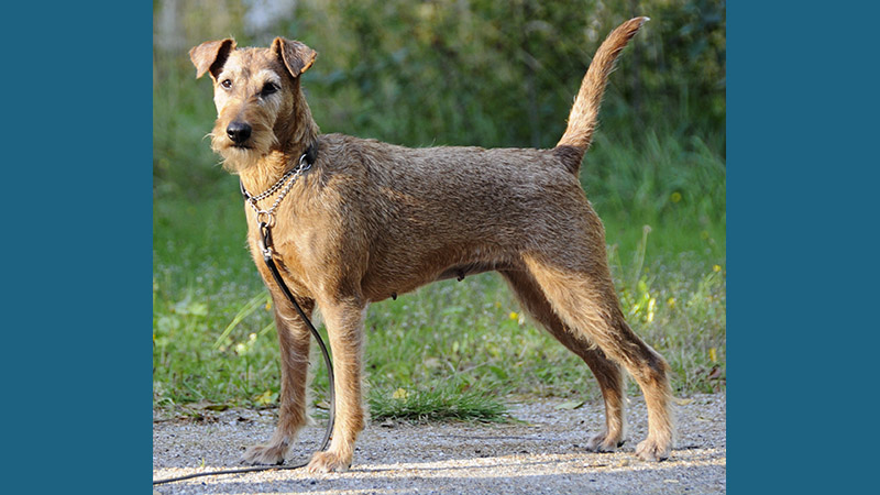 Irish Terrier 2