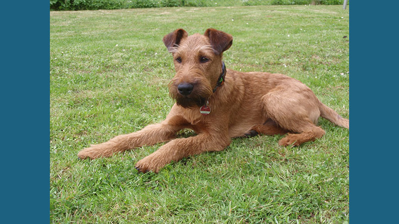 Irish Terrier 3