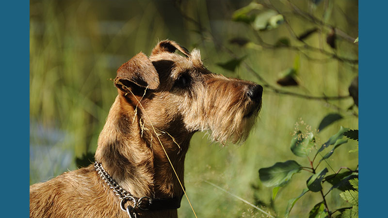 Irish Terrier 5