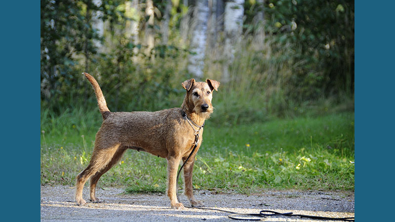 Irish Terrier 8
