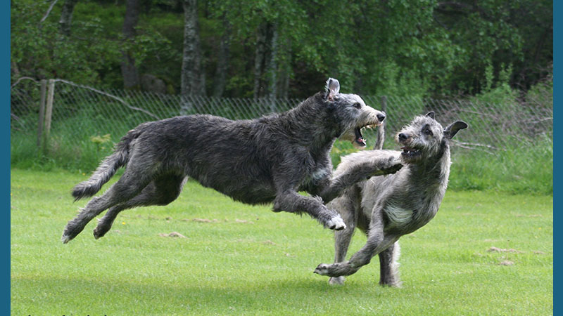 Irish Wolfhound 14