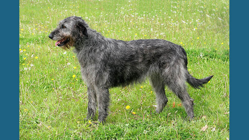 Irish Wolfhound 3