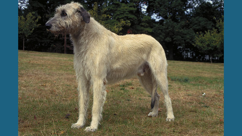 Irish Wolfhound 4