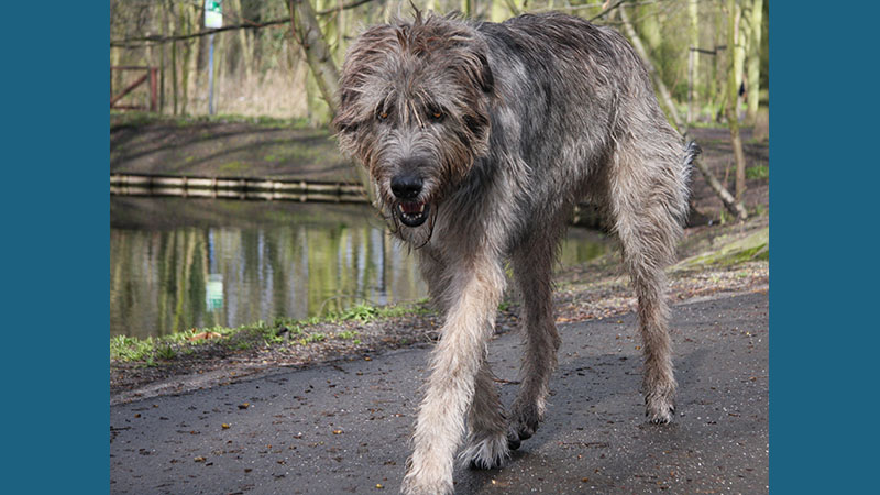 Irish Wolfhound 5