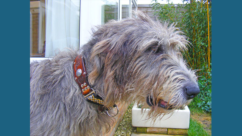 Irish Wolfhound 8