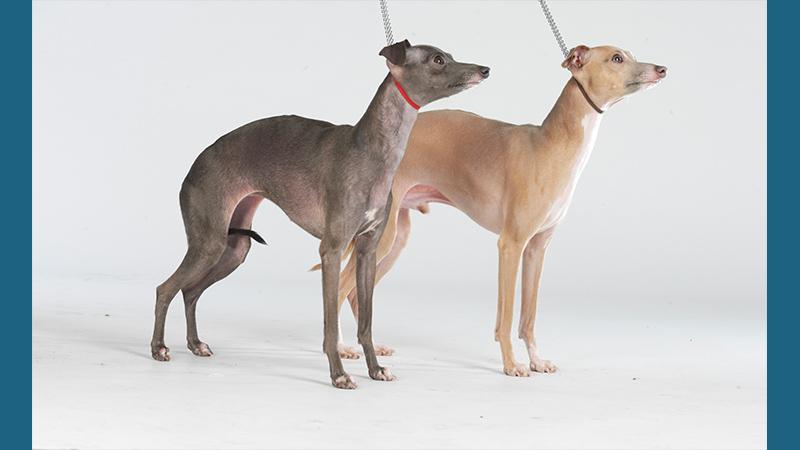 Italian Greyhound 1