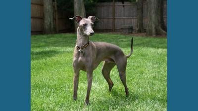 Italian Greyhound 10