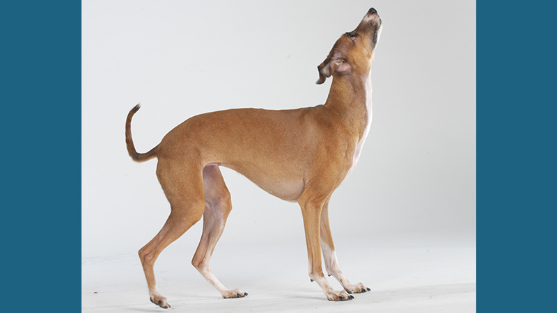 Italian Greyhound 11
