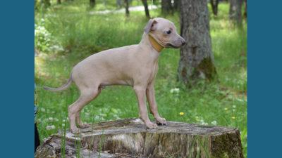 Italian Greyhound 12