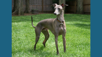 Italian Greyhound 2