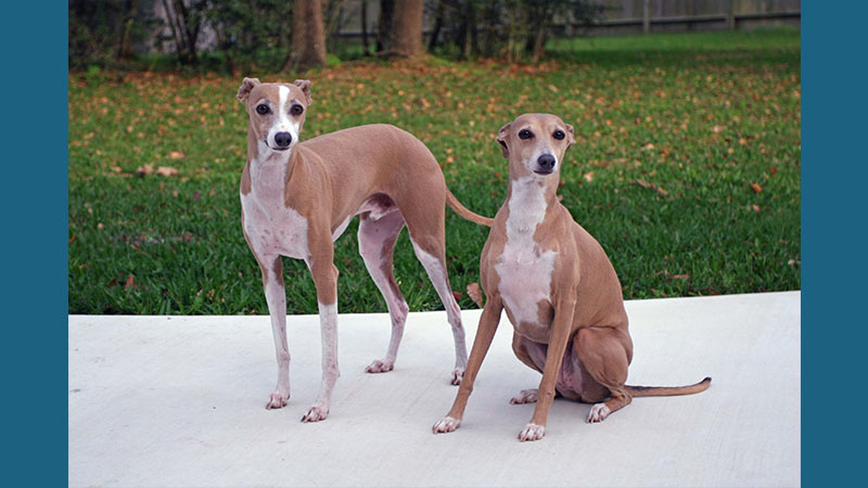 Italian Greyhound 3