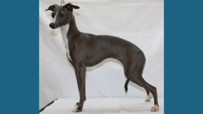 Italian Greyhound 4
