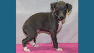 Italian Greyhound 7
