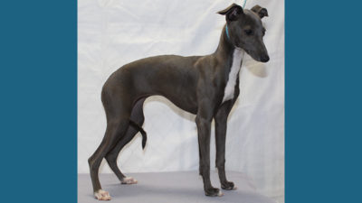 Italian Greyhound 8
