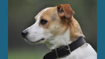 Jack Russell Terrier 10
