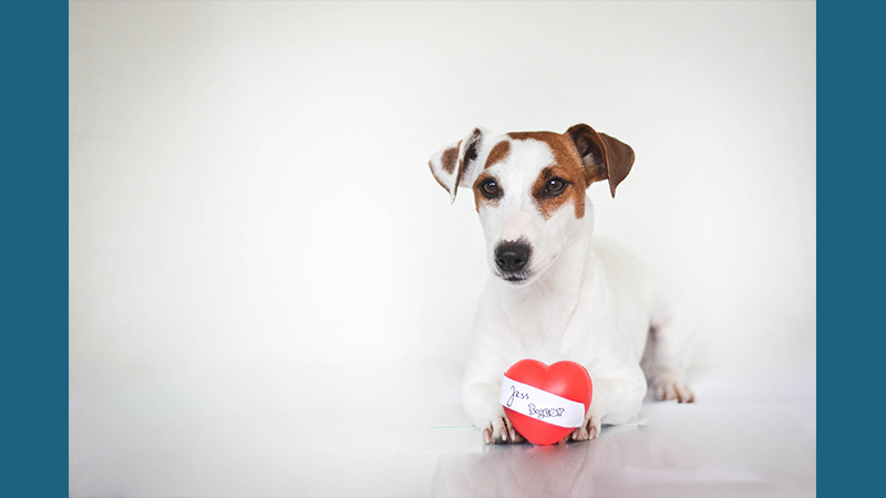 Jack Russell Terrier 11