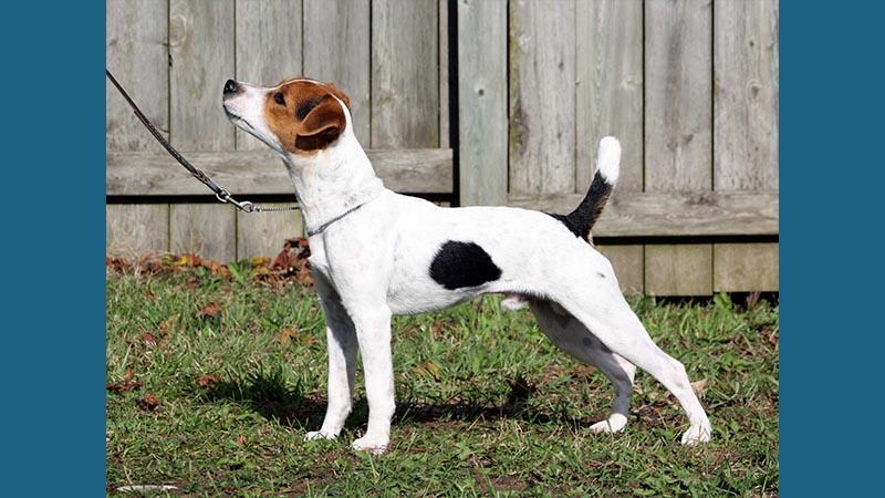 Jack Russell Terrier 12