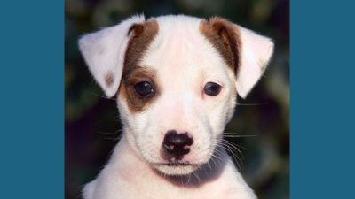 Jack Russell Terrier 13