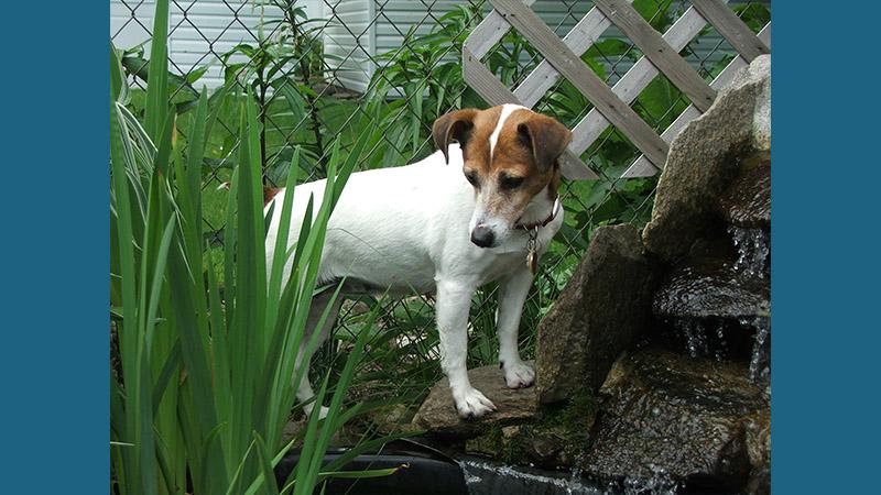 Jack Russell Terrier 15