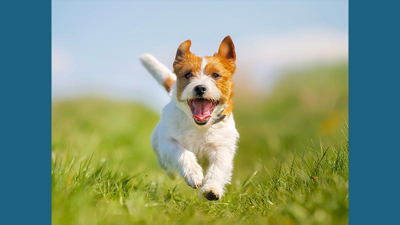 Jack Russell Terrier 16