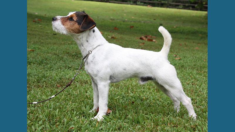 Jack Russell Terrier 3