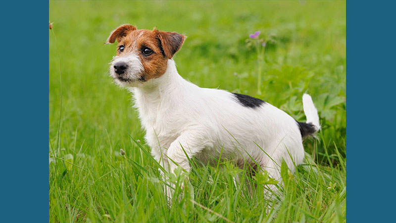 Jack Russell Terrier 4