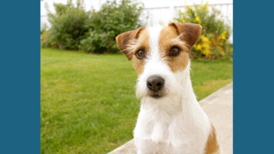 Jack Russell Terrier 5