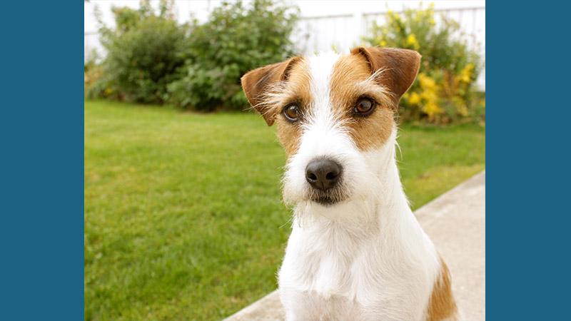 Jack Russell Terrier 5