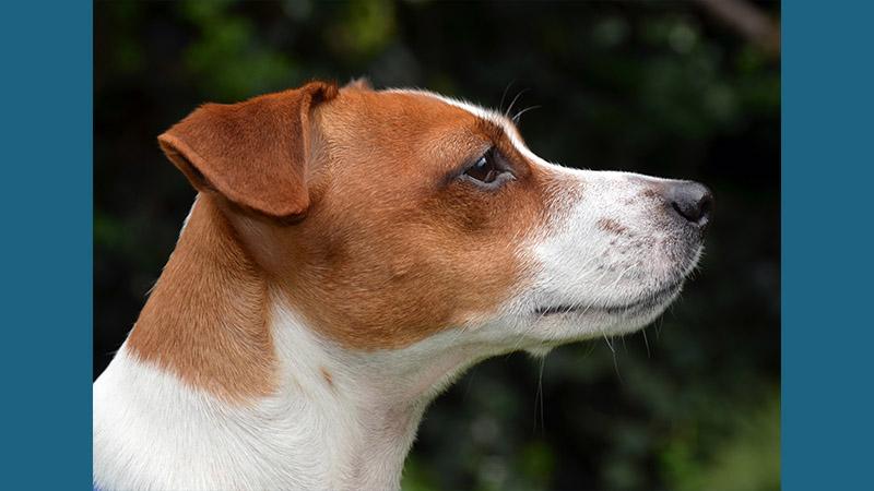 Jack Russell Terrier 6