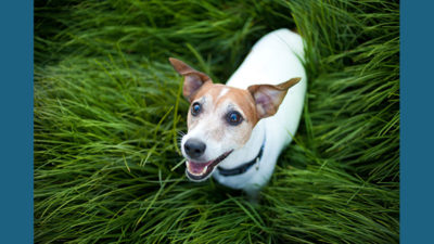 Jack Russell Terrier 7