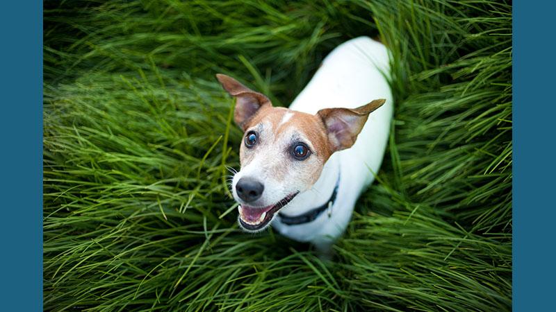 Jack Russell Terrier 7