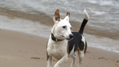 Jack Russell Terrier 8