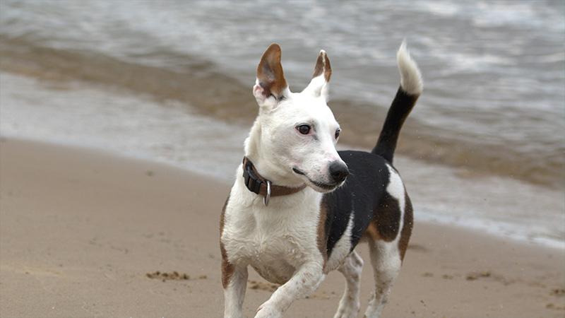 Jack Russell Terrier 8