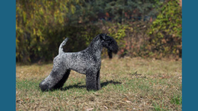 Kerry Blue Terrier 10