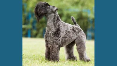 Kerry Blue Terrier 11