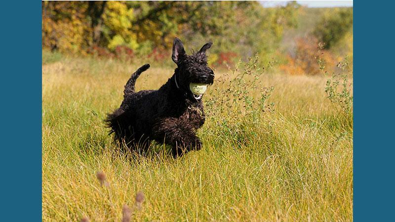 Kerry Blue Terrier 12