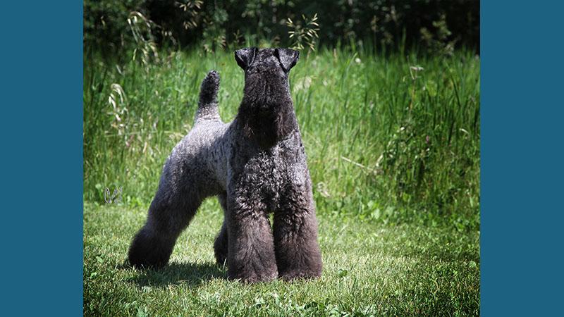 Kerry Blue Terrier 13