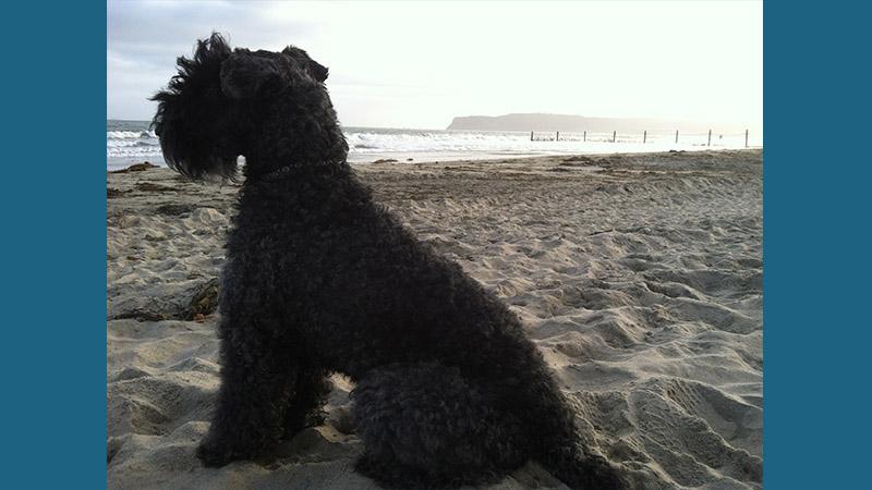 Kerry Blue Terrier 14