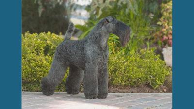Kerry Blue Terrier 2